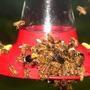 Honey Bees 2005