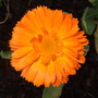 Calendula_orange_king_