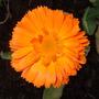 Calendula_orange_king_