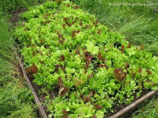 Leaf lettuce blend (Lactuca sativa (Lettuce))