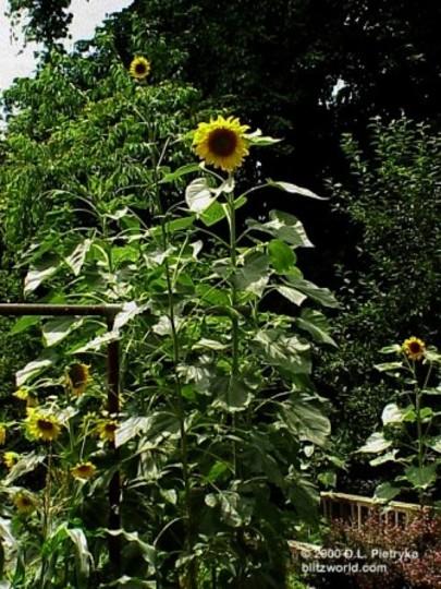 Skyscraper Sunflower (Helianthus annuus (Sunflower))
