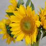 Sunflower_sunny