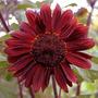 Sunflower_vq