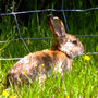 A wild rabbit, who could'nt be bothered to run