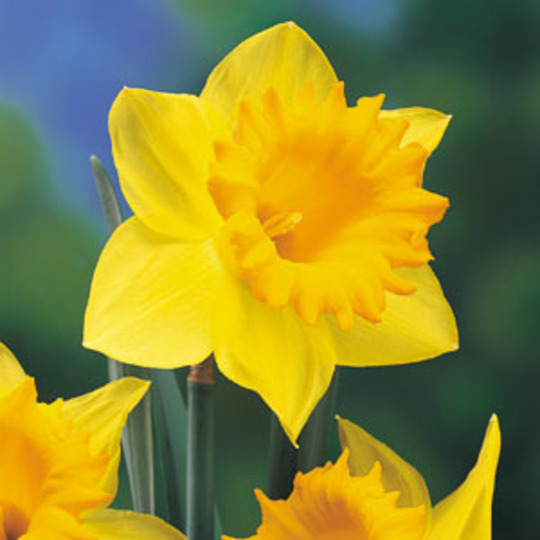 Daffodil (Narcissus abscissus)