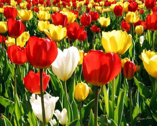 Tulip (Tulipa acuminata (Tulip))
