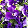 Pansy (Viola lutea (Mountain Pansy))