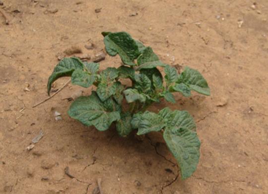 Potatoes (Solanum tuberosum (Salad potato))