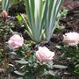 Irises and mini roses