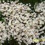 Saxifragia (Saxifraga aizoides (Evergreen Saxifrage))