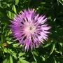 Centaurea_dealbata_steenbergii_31_05_09