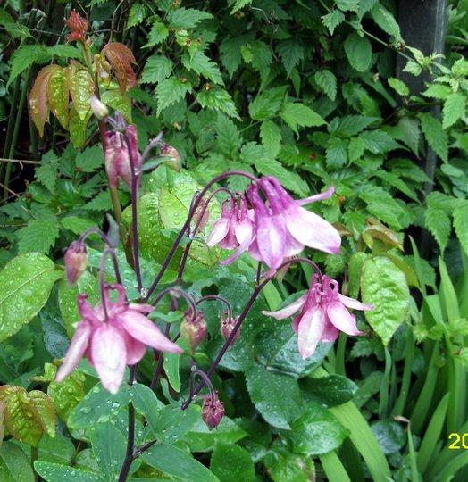 Aquilegia (aquilegia a vulgaris)