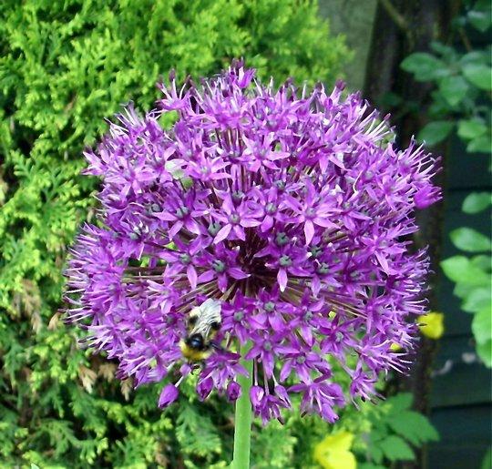 Allium (Allium  A albopilosum)