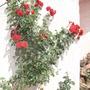 Red rose bush.