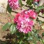 Splotched violet rose.