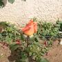 Bud, orange rose.