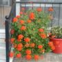 Orange geraniums.