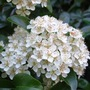 Pyracantha_floers_31_05_09_2