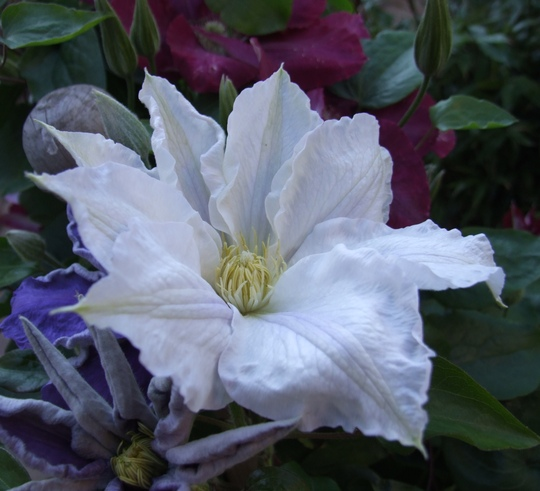 Clematis Ice Blue