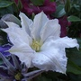 Clematis_ice_blue_31_05_09_
