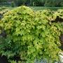 Humulus lupulus 'Aureus' (Humulus lupulus (Golden Hop))