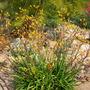 Anigozanthos 'yellow' - Kangaroo Paws  (Anigozanthos 'yellow' - Kangaroo Paws)