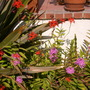 Epidendrum hybrids - Reed Orchids (Epidendrum hybrids - Reed Orchids)