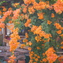 Bougainvillea 'California Gold'  - Bougainvillea (Bougainvillea 'California Gold'  - Bougainvillea)