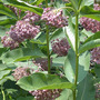 Milkweed_blooms_closer_6_25_med