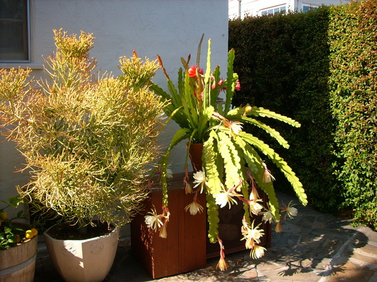 Epiphyllum 'Yellow' and 'Fuchsia'  - Euphorbia tirucalli - Pencil Tree (Epiphyllum 'Yellow' and 'Fuchsia'  - Euphorbia tirucalli - Pencil Tree)