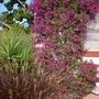 Bougainvillea spectabilis - Bougainvillea (Bougainvillea spectabilis - Bougainvillea)