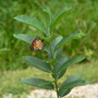 Monarch butterfly ovipositinig  (Asclepias syriaca Common Milkweed)