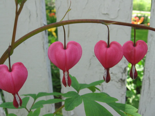 hearts on the line (Dicentra spectabilis (Bleeding heart))