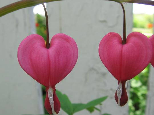 closeup (Dicentra spectabilis (Bleeding heart))