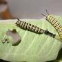 Monarch Caterpillars, Different Instars (Asclepias syriaca Common Milkweed)