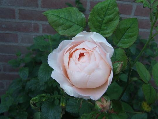 David Austin's Ambridge Rose