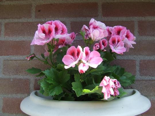 French geranium