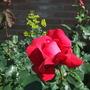 """Rosa """"Dame de Coeur"""""""