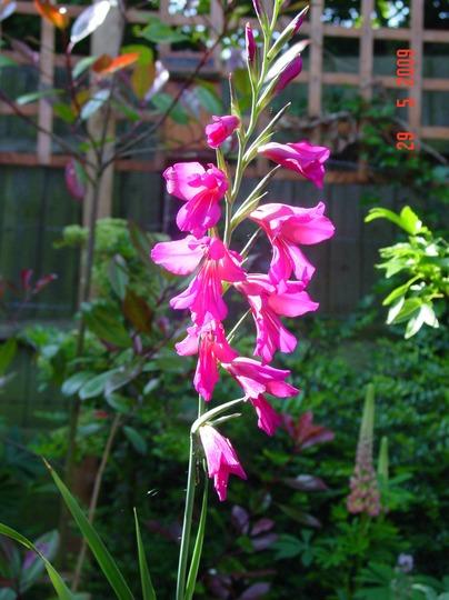 Sword Lily (Gladiolus byzantina)