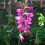 Gladiolus_sword_lily_