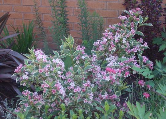 A garden flower photo (Weigela florida 'Variegata')