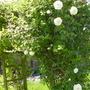 Roses on Pegola
