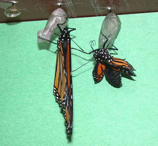 Much To Do (Asclepias syriaca Common Milkweed)