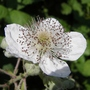 Bramble_flower_1_06_09