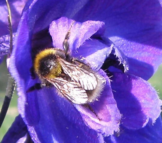 Bee_on_Delphinium_1-06-09_.jpg