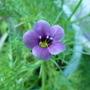 For Irish (Gilia achilleifolia)