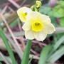 18_3_2.jpg (Narcissus)