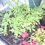 Tomato_seedlings_on_balcony_2009-05-30_001.jpg