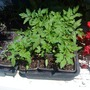 Tomato_seedlings_on_balcony_2009-05-30.jpg