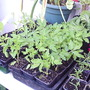 Tomato_seedlings_on_balcony_2009-05-31_001.jpg